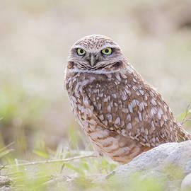 Mavourneen Strozewski - Burrowing Owl under Morning Light