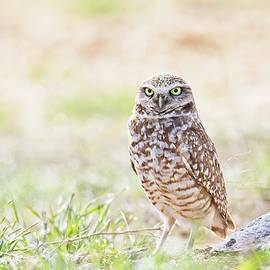 Mavourneen Strozewski - Burrown Owl Under Morning Light