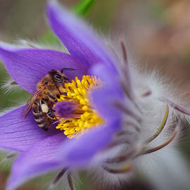 Jenny Rainbow - Busy Busy Bee on Pasqueflower