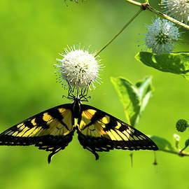 Butterfly 11 by Buddy Scott