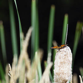 Alan Look - Butterfly on a Cattail