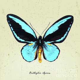 Bobbi Freelance - Butterfly001_Ornithoptera Aesacus