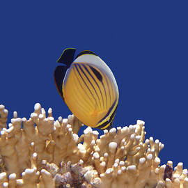 Butterflyfish And Corals