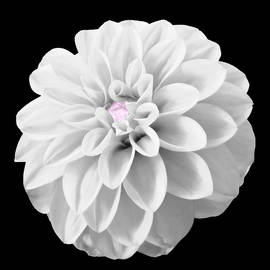 Johanna Hurmerinta - BW Dahlia And Touch Of Pink