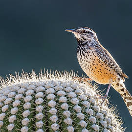 Cactus Wren Beauty by Morris Finkelstein