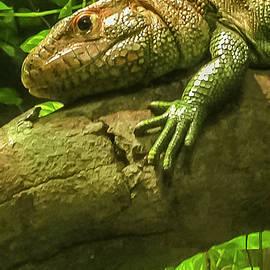 Caiman Lizard by Jennifer Stackpole