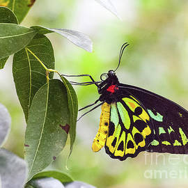 Cairn Birdwing Butterfly by Cathie Moog