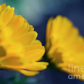 Sharon Mau - Calendula Flowers