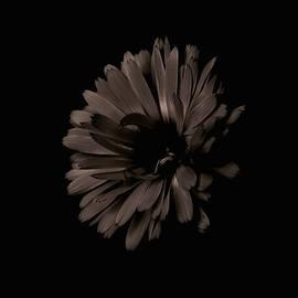 Tim Good - Calendula in Shadows