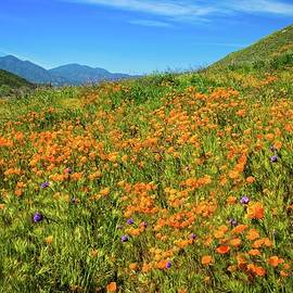 Lynn Bauer - California Poppies Gone Wild