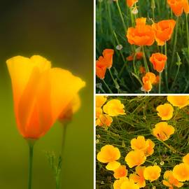 California Poppy Triptych by Sherri Meyer