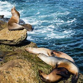 California Sea Lions by Robert VanDerWal