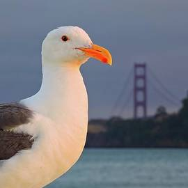 California Seagull by Connor Beekman