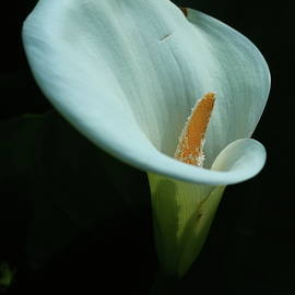 Christiane Schulze Art And Photography - Calla Lily