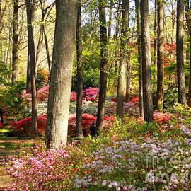Callaway Gardens, Pine Mountain Georgia bright colored azaleas by Charlene Cox