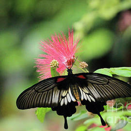Calliandra Blossom and Common Mormon Butterfly by Sandra Huston