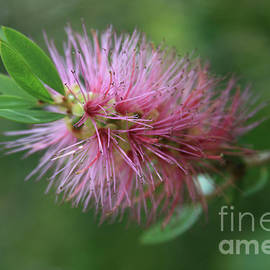 Callistemon viminalis Taree Pink Weeping Bottlebrush Flowering Trees of Hawaii by Sharon Mau