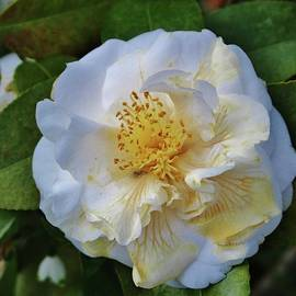 Camellia Bloom by Cynthia Guinn
