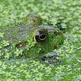 Camo Frog by Ronda Ryan