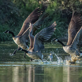 Canada Geese 4983-092017-1cr by Tam Ryan