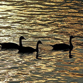 Debbie Oppermann - Canada Geese At Sunrise