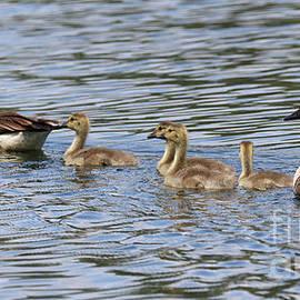 Canada Geese Family by Sandra Huston