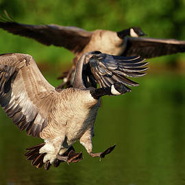 Jestephotography Ltd - Canada goose - Landing gear