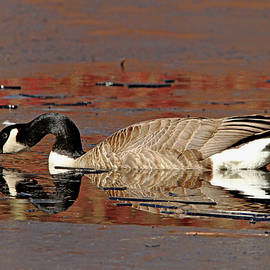 Canada Goose On Icy Pond Early Spring by Debbie Oppermann