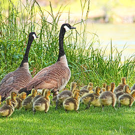 Canadian Geese Family by Jennie Marie Schell