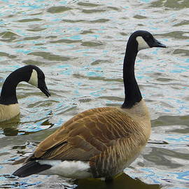 Canadian Geese in Virginia by Arlane Crump