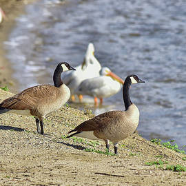 Canadian Geese on the Shore 1 by Linda Brody