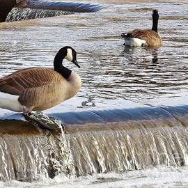 Rory Cubel - Canadian Goose Pair At River Aeration Steps    Autumn   Indiana