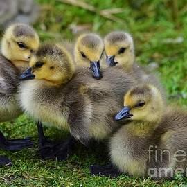 Canadian Goslings Cuddle by Turtle Shoaf