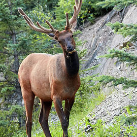 David Beebe - Canadian Rockies Bull Elk 2