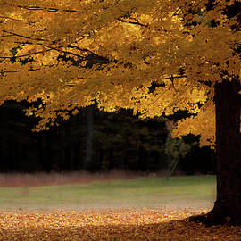 Canopy of Autumn Gold by Jeff Folger