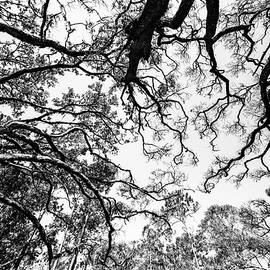 Canopy by Ray Silva