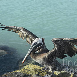 Captivating photo of a pelican preparing for flight  by DejaVu Designs