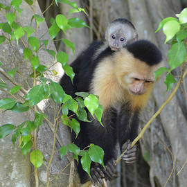 Capuchin Moma and baby 1 by Robert Kaler