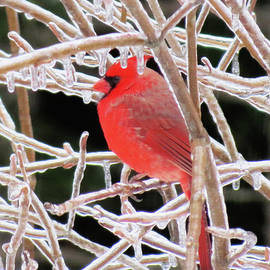 MTBobbins Photography - Cardinal Ice