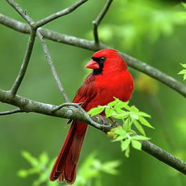 Cardinal by Ronnie and Frances Howard