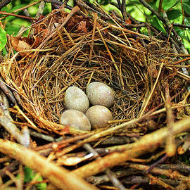 Bellesouth Studio - Brown Thrasher Nest And Eggs