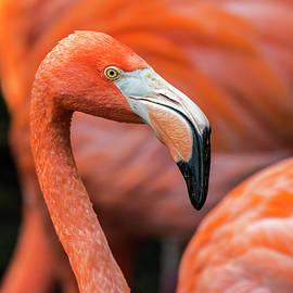 Arterra Picture Library - Caribbean flamingo
