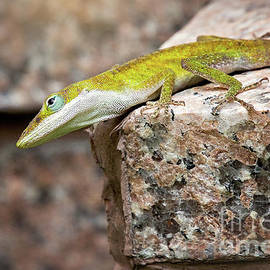 Carolina Anole by Sharon McConnell