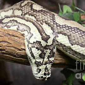 Gary Gingrich Galleries - Carpet Python-8837