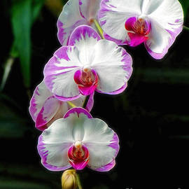 Sue Melvin - Cascading Orchid Beauties