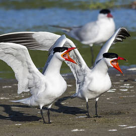 Bruce Frye - Caspian Terns at a Lagoon
