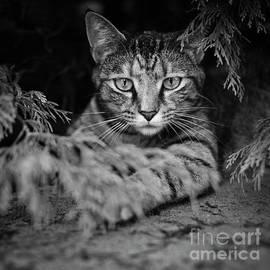 Cat Under Bush by Patrick M Lynch