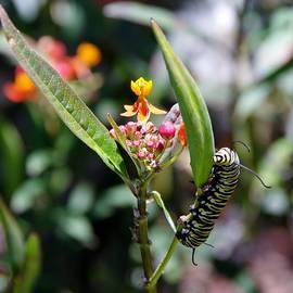 Caterpillar by Phyllis Spoor