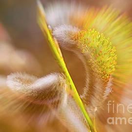 Veikko Suikkanen - Catkins bloom 2