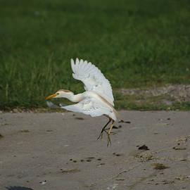 Roy Williams - Cattle Egret Landing On Concrete